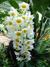 Orchid Plant How To Care For A White Orchid Plant Garden Guides