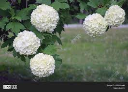 beautiful fluffy white snowball tree flowers blooming in