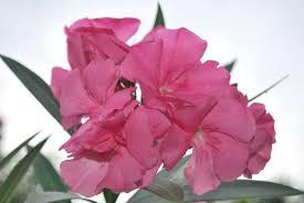 adelfa cainta plant nursery