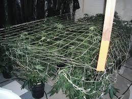 capp ebb and grow 3rd time u0027s the charm cannabis cultivation