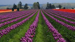 skagit valley tulip festival bloom map another warm winter has the skagit valley tulips blooming early komo