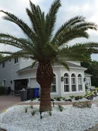 sylvester palm tree sale ta palm tree sales and installation oasis palms landscaping