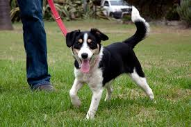 bearded collie and border collie mix border jack border collie jack russell mix info puppies pictures