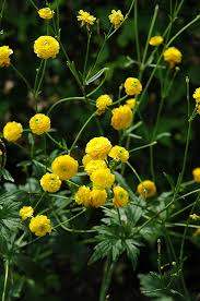 bachelor buttons yellow bachelor s button ranunculus acris flore plena in