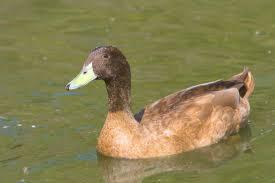 will my pet ducks fly away efowl