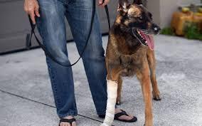 belgian sheepdog illinois dog bites back to survive alligator attack miami herald