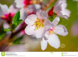 beautiful blooming almond tree with white pink flowers stock photo