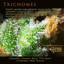 marijuana trichomes cannabis trichome chronic relief what is medical marijuana
