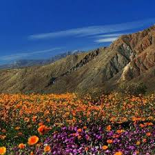 anza borrego desert flowers meanderthals spectacular bloom expected at anza borrego desert