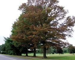 new jersey s state tree the oak is being attacked by a
