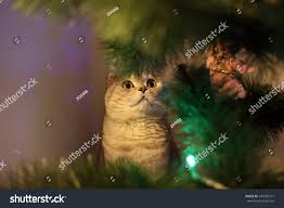 cat hiding behind branches christmas tree stock photo 540769141