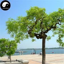 2017 buy real sophora japonica tree seeds plant