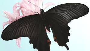 what does a black butterfly symbolize reference com
