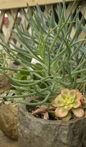 succulents meaning 303 best succulents aeonium images on pinterest succulents