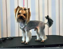 haircuts for yorkie dogs females 12 best good styles for my girls images on pinterest haircut