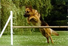 belgian shepherd vs pitbull fight red wolf v german shepherd