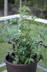 mavis garden blog vegetable container gardening one hundred