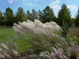 miscanthus ornamental grasses grasses and gardens