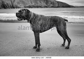 boxer dog black and white obedient black and white stock photos u0026 images alamy