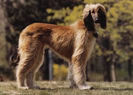 afghan hound look alike breeds scratch dog or not u2013 are afghan hounds hypoallergenic