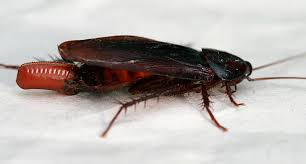 how to get rid of roaches u2013 the complete guide to killing cockroaches