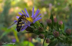 native plants for bees clay and limestone wildflower wednesday keeper of bees