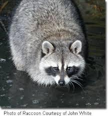 Raccoons In Backyard Raccoon Johnwhite Jpg