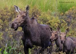 algonquin park moose scott martin photography