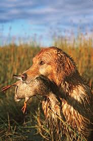 Do All Short Haired Dogs Shed by Best 25 Hunting Dogs Ideas On Pinterest Duck Hunting Dogs