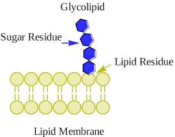 glycolipid wikipedia