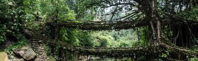 living bridges of meghalaya butterdaisy