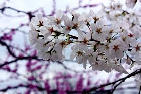 the lesson of cherry blossoms the greenery
