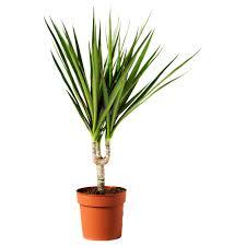 Plants For Desk Dracaena Marginata Potted Plant Ikea