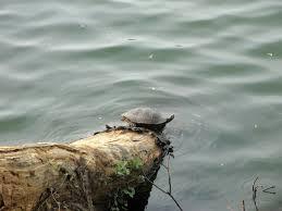 Ringed Map Turtle Sri Lanka Highlights Holiday Ke Adventure Travel