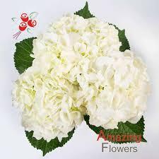 white hydrangeas white select hydrangea flowers amazingflowersusa