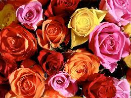 roses colors color roses wallpaper hd wallpapersafari