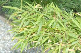 clumping bamboos vs running bamboos how they differ