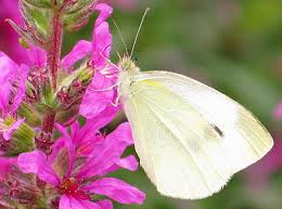 white butterfly pink flower wildlife free nature pictures by