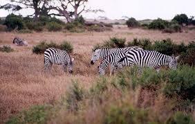 Tropical Savanna Dominant Plants - climate change impact on grasslands u0026 savannas global warming