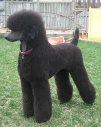 different styles of hair cuts for poodles google image result for http dogbreedtrainings com wp content