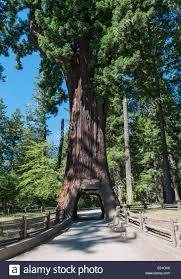 Chandelier Tree California California Leggett Chandelier Tree Drive Through Tree