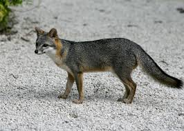 california gray fox trapping seasons laws and hunting locations