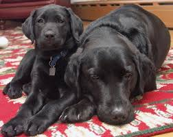 Dogs Helping Blind People 113 Best Guide Dogs Images On Pinterest Guide Dog Service Dogs
