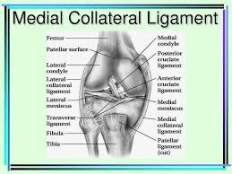Lateral Patellar Ligament Ppt Femur Patellar Surface Femur Lateral Condyle U0026amp