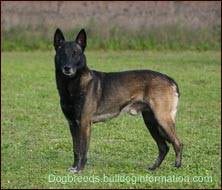 belgian sheepdog registry belgian shepherd dogs
