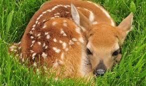 brief sneaky deer moms use another species as babysitters