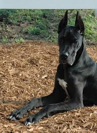 Great Dane Home Decor 45 Best Oh Dane Images On Pinterest Beautiful Dog And Dogs