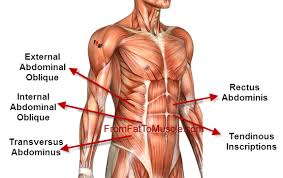 Female Abdominal Anatomy Pictures Female Abdomen Anatomy Diagram Human Anatomy Charts