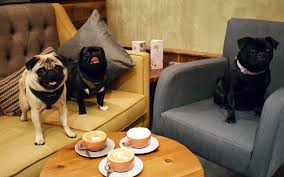 pugs are taking this coffee shop in travel leisure
