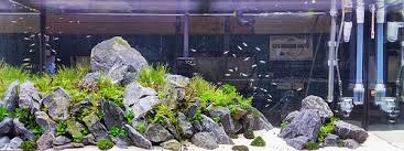 Aquascape Chicago Aquascaping Guitarfish